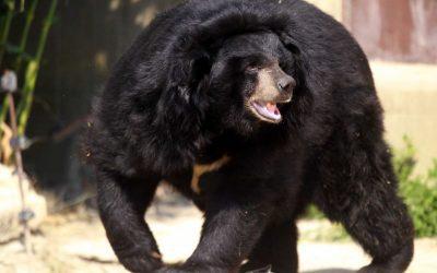 Sonhar com urso preto