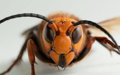 Sonhar com vespas